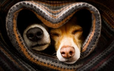couple of dogs in love sleeping together under the blanket in bed in heart form, warm and cozy and cuddly