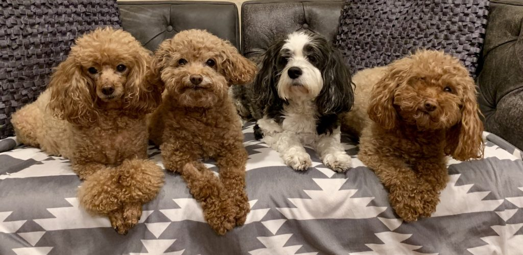 cute poodles sitting on the couch